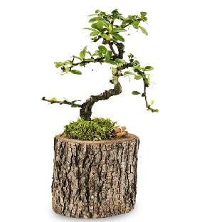 Doğal kütükte S bonsai ağacı  İsparta çiçek satışı