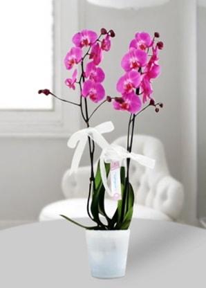 Çift dallı mor orkide  İsparta çiçekçiler