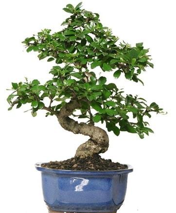 21 ile 25 cm arası özel S bonsai japon ağacı  İsparta çiçekçi telefonları