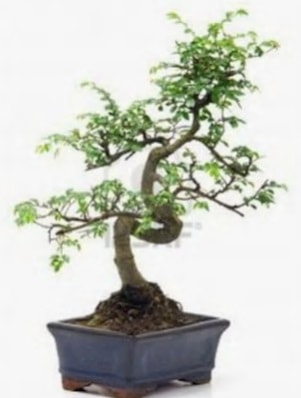 S gövde bonsai minyatür ağaç japon ağacı  İsparta çiçek satışı