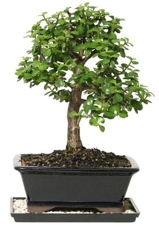 15 cm civarı Zerkova bonsai bitkisi  İsparta çiçek siparişi sitesi