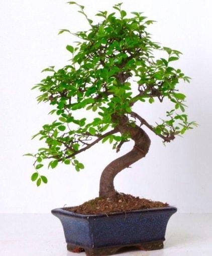 S gövdeli bonsai minyatür ağaç japon ağacı  İsparta çiçek gönderme sitemiz güvenlidir
