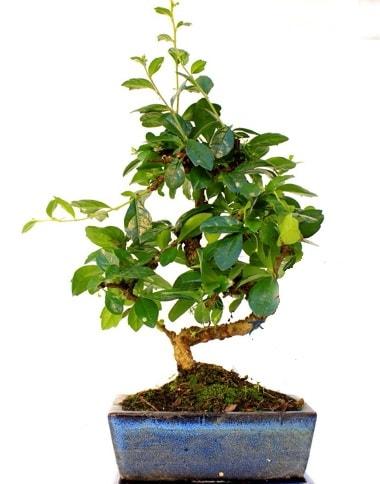 S gövdeli carmina bonsai ağacı  İsparta çiçek yolla  Minyatür ağaç