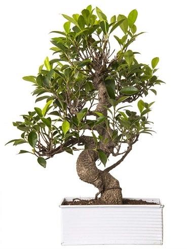 Exotic Green S Gövde 6 Year Ficus Bonsai  İsparta çiçek gönderme sitemiz güvenlidir