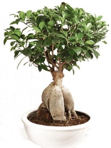 Ginseng bonsai japon ağacı ficus ginseng  İsparta İnternetten çiçek siparişi